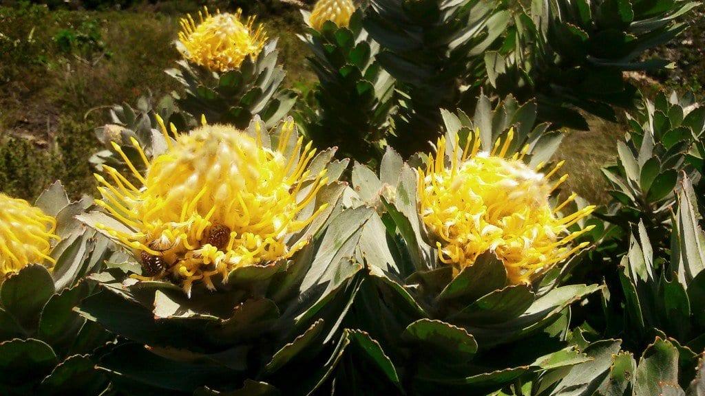 platteklip-gorge-proteas