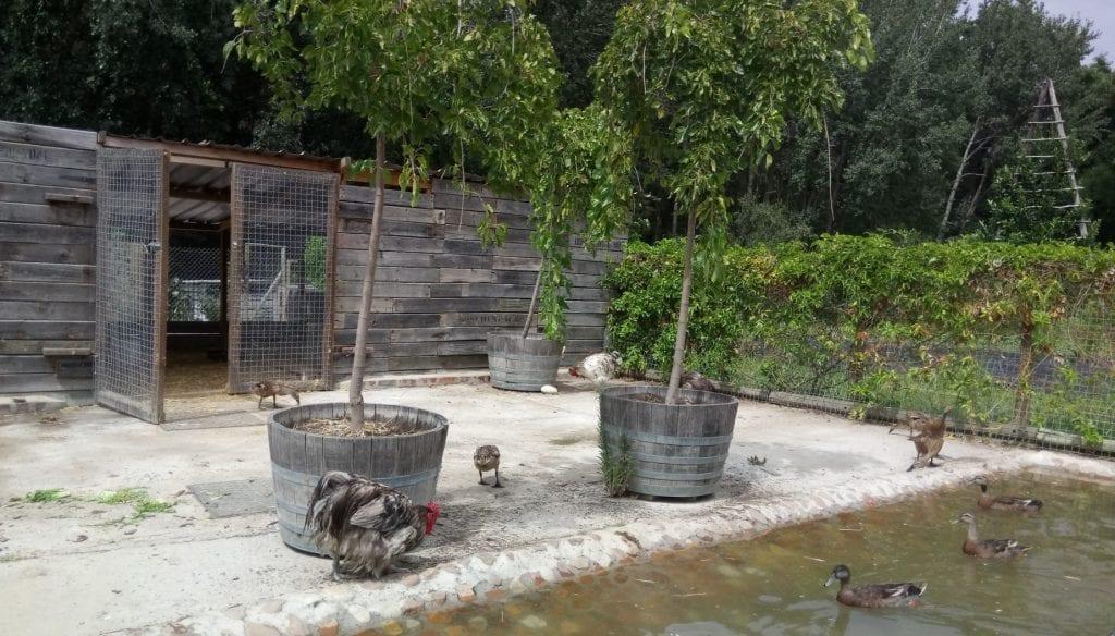 boschendal-chickens