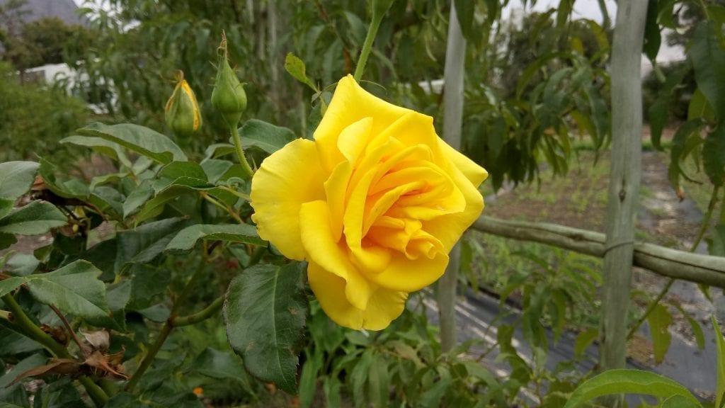 boschendal-rose-garden