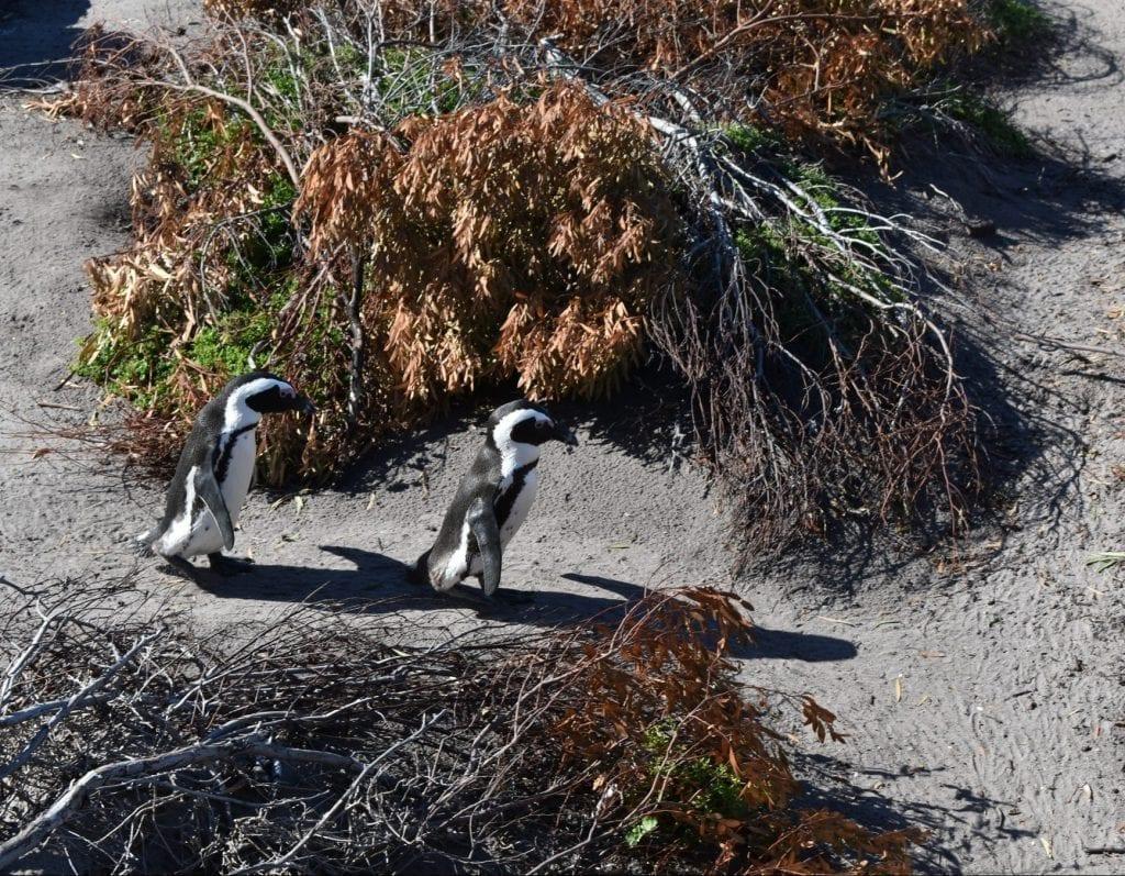 stony-point-nature-reserve-penguins