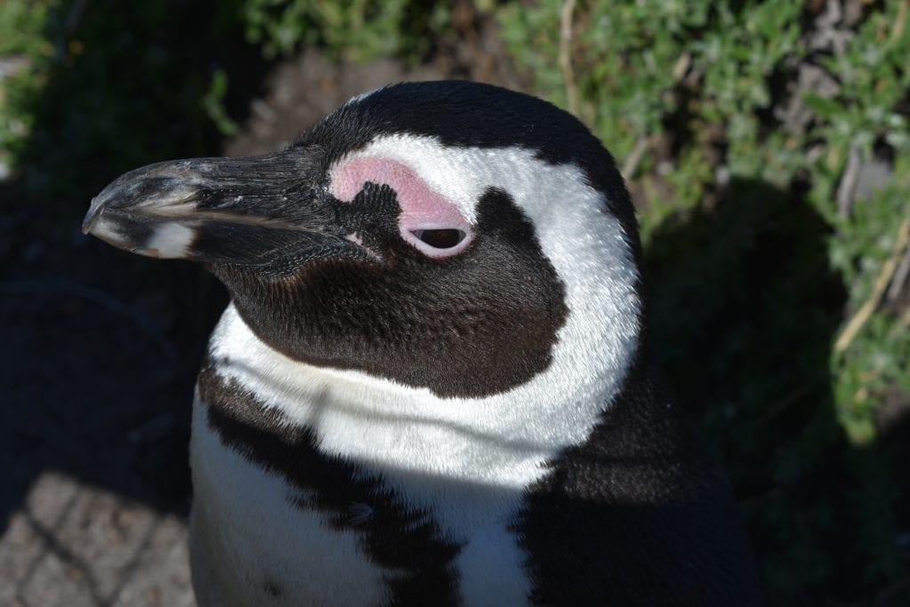 stony-point-nature-reserve-bettys-bay-penguins