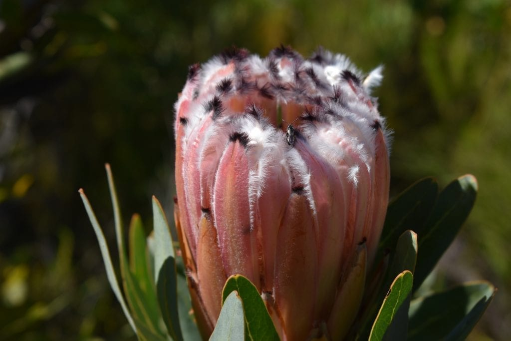 kogelberg-nature-reserve-protea