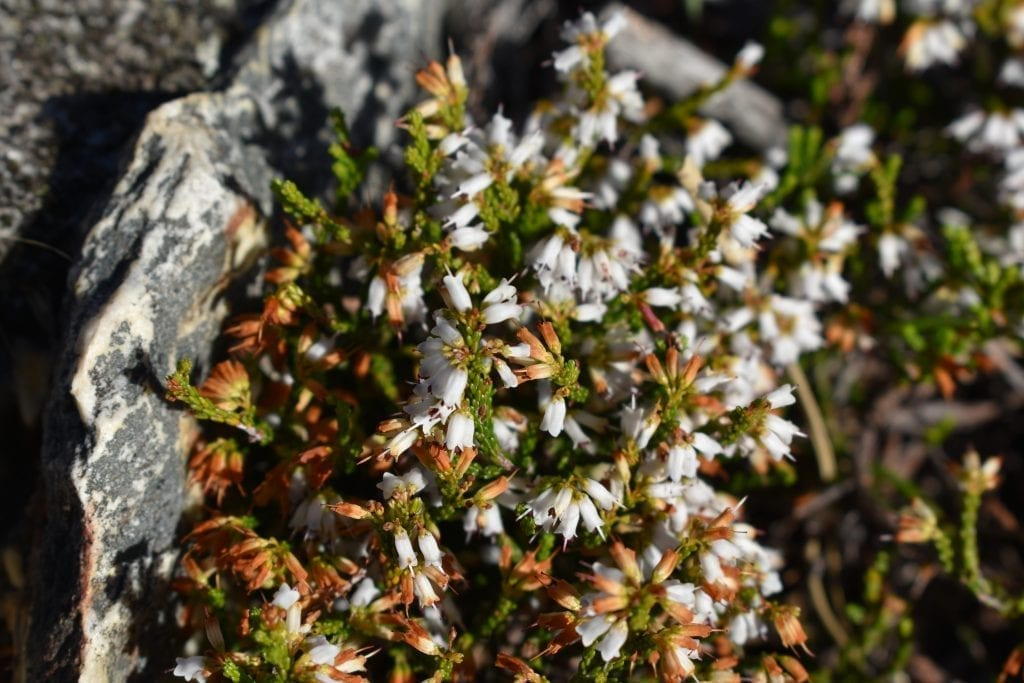 kogelberg-nature-reserve-flowers
