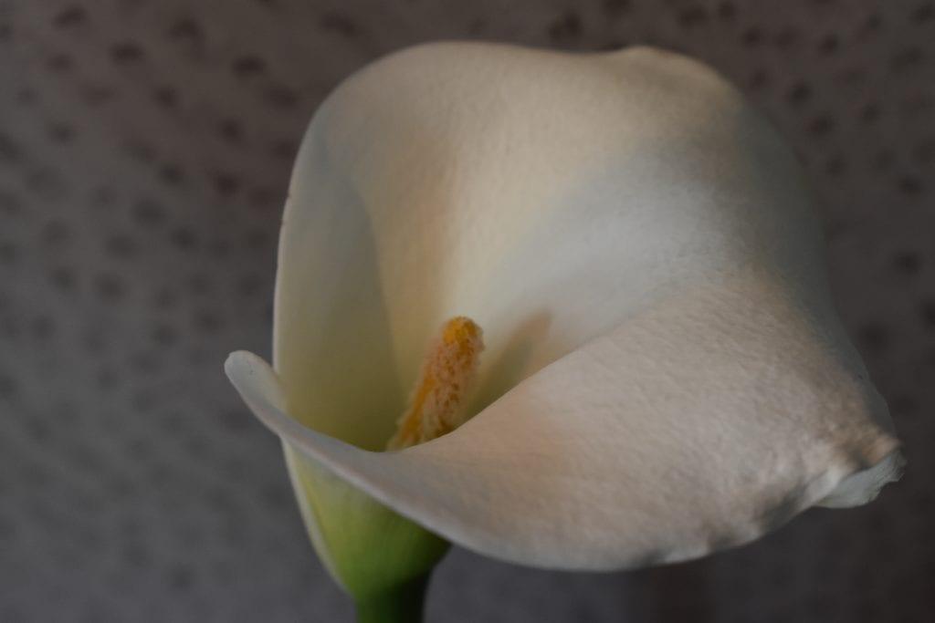 molo-lolo-lodge-arum-lily