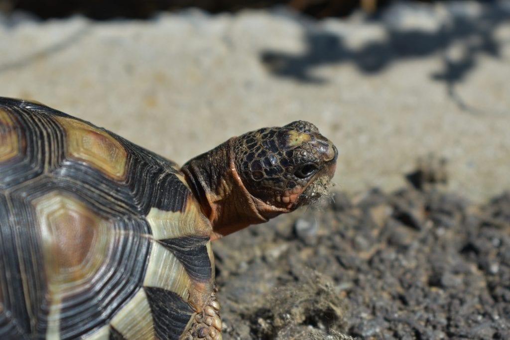 cape-leopard-tortoise-tygerberg