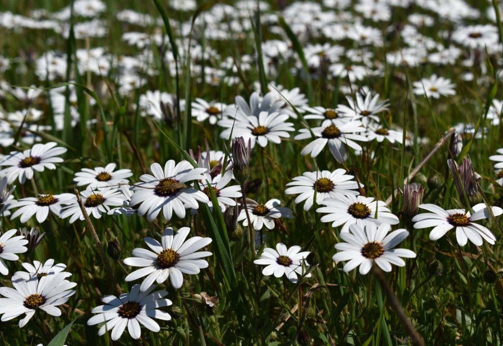 spring-flowers-tygerberg-cape-town