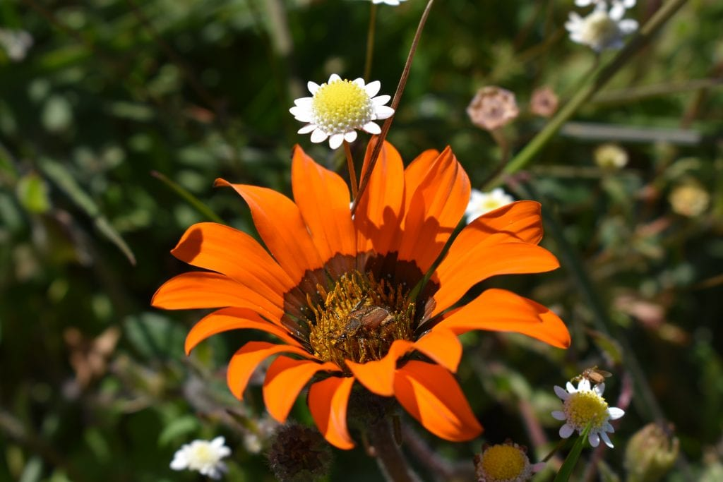 tygerberg-nature-reserve-flowers