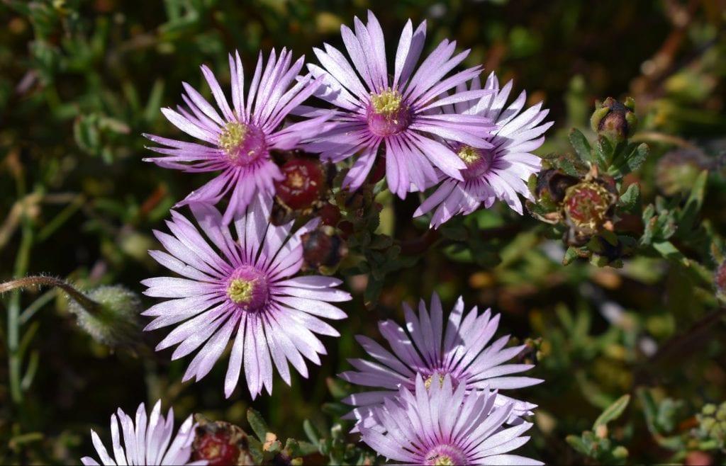tygerberg-wildflowers