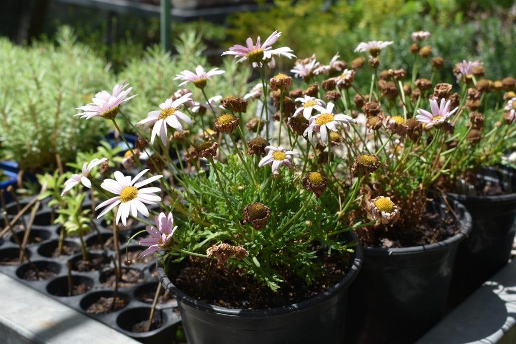avondale-open-garden-plant-sale