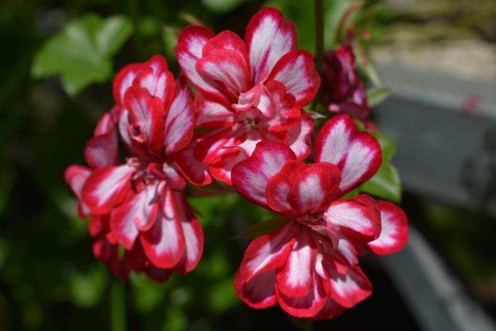 geranium-cerise