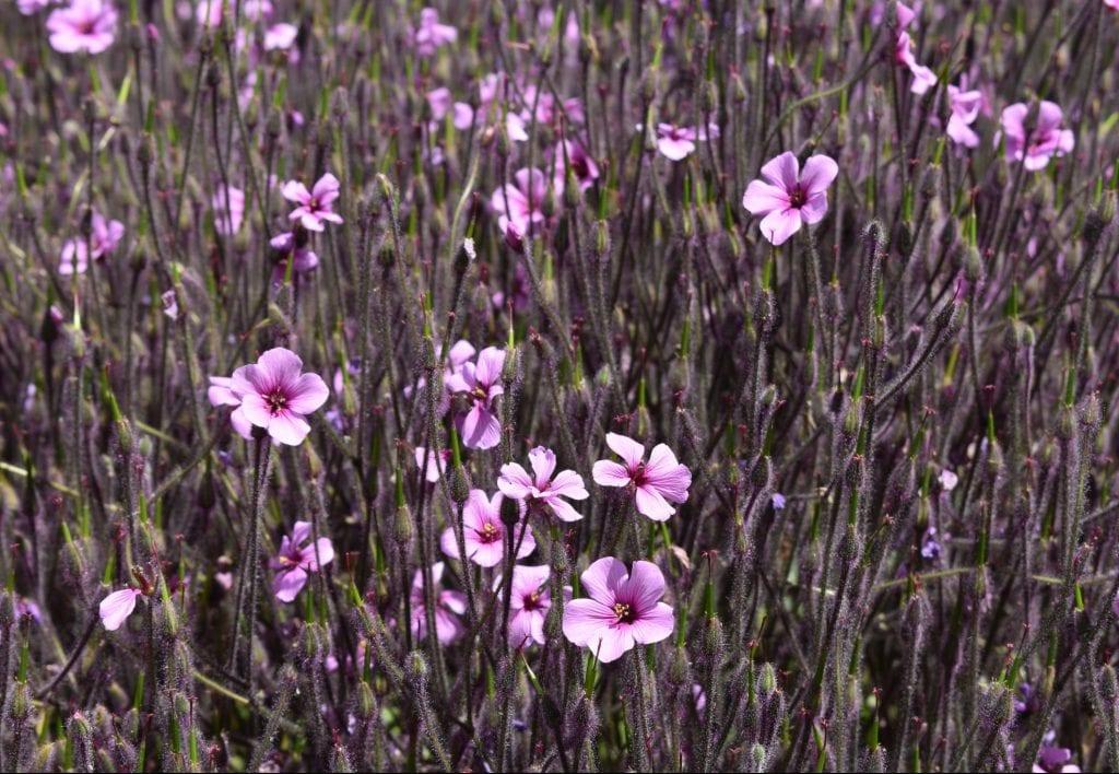 avondale-purple-flowers
