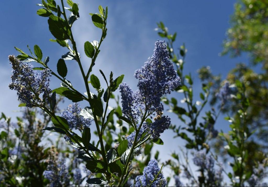 avondale-blue-flowers