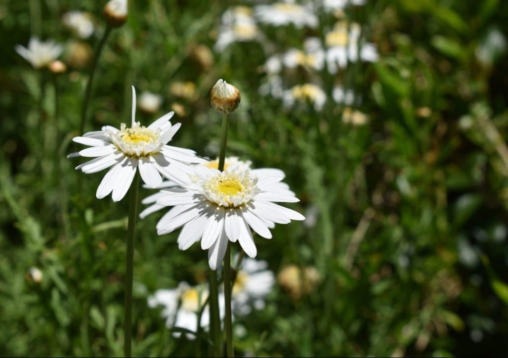 avondale-daisies
