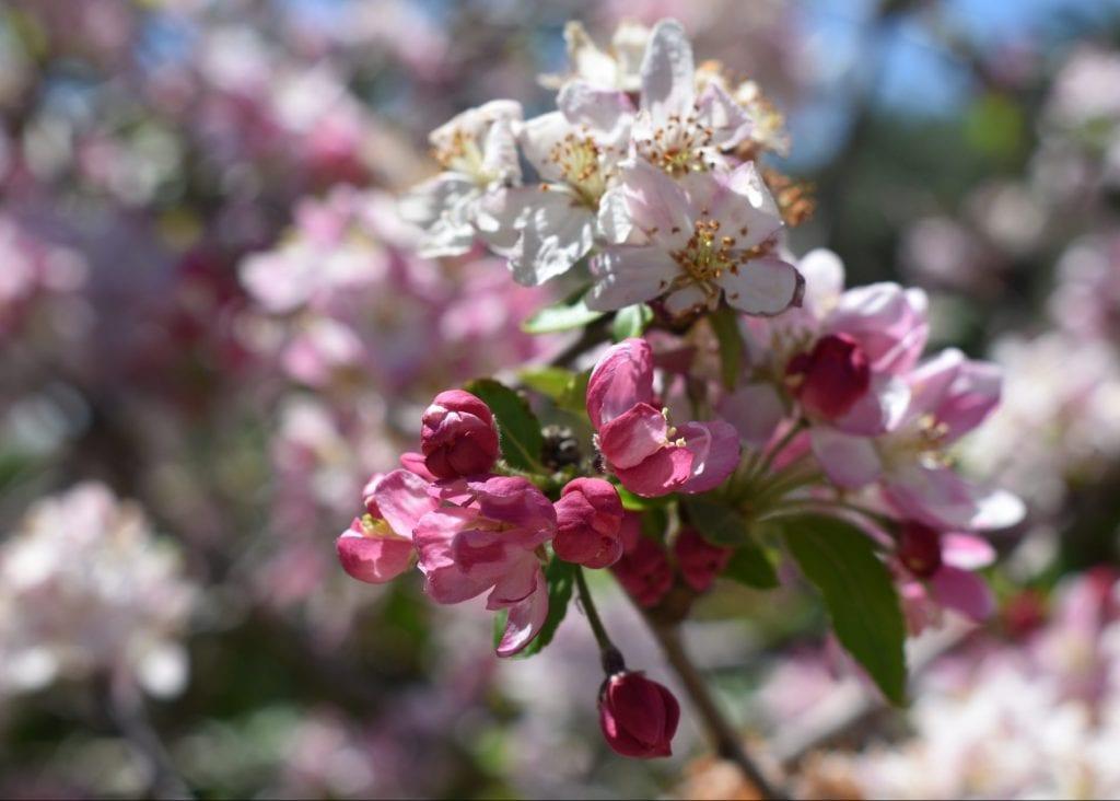 avondale-spring-blossom