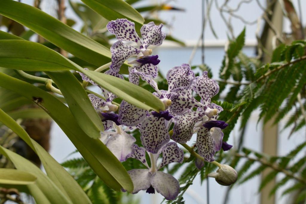 avondale-orchid-purple-white