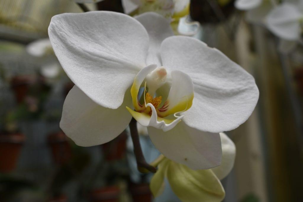 orchid-tamlyn-amber-wanderlust