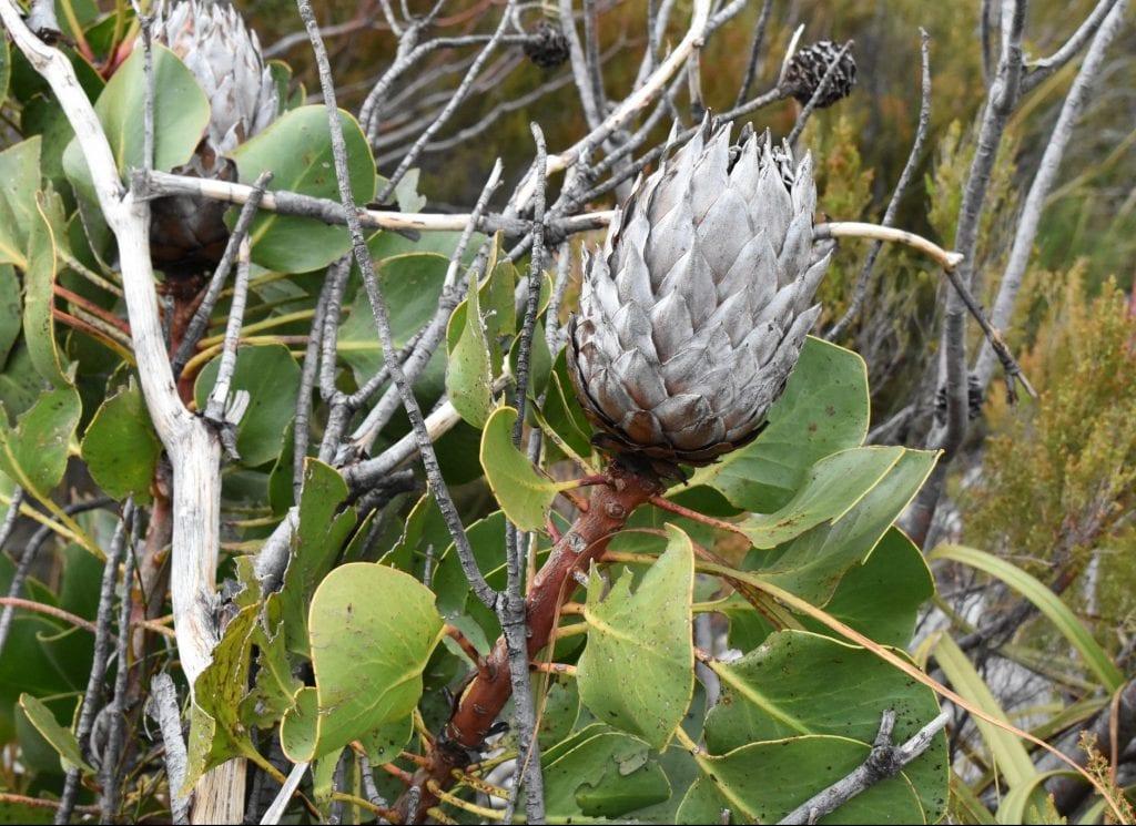 cape-protea