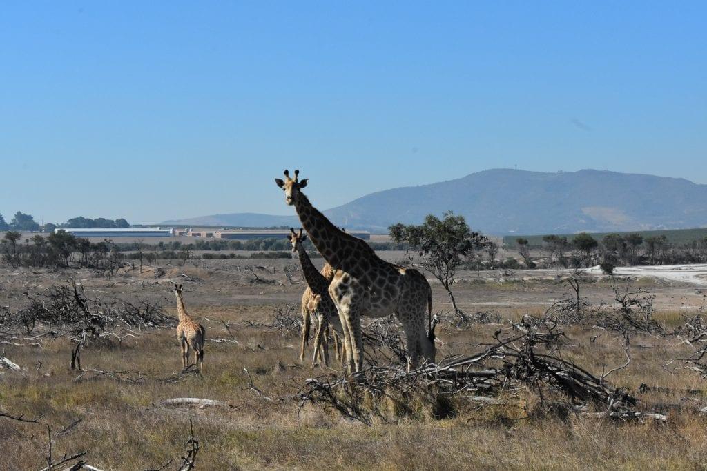 villiera-wines-giraffe