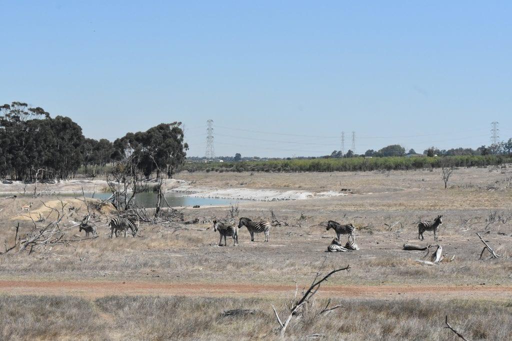 burchells-zebra-villiera