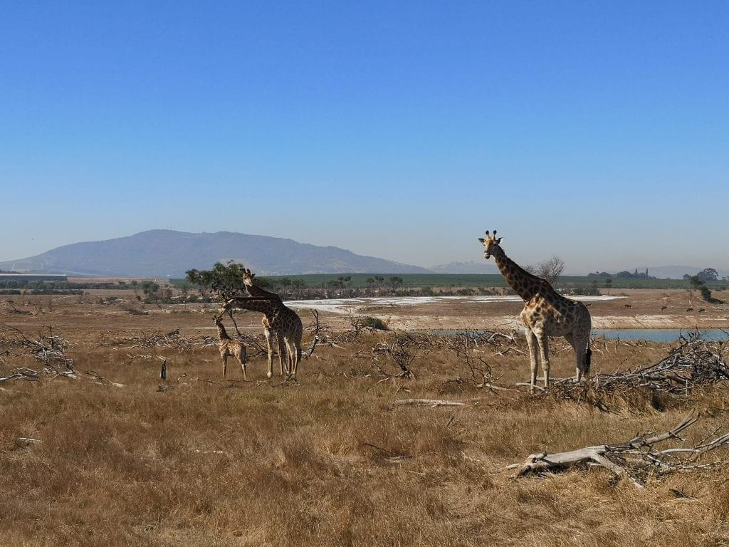 giraffe-villiera-game-drive