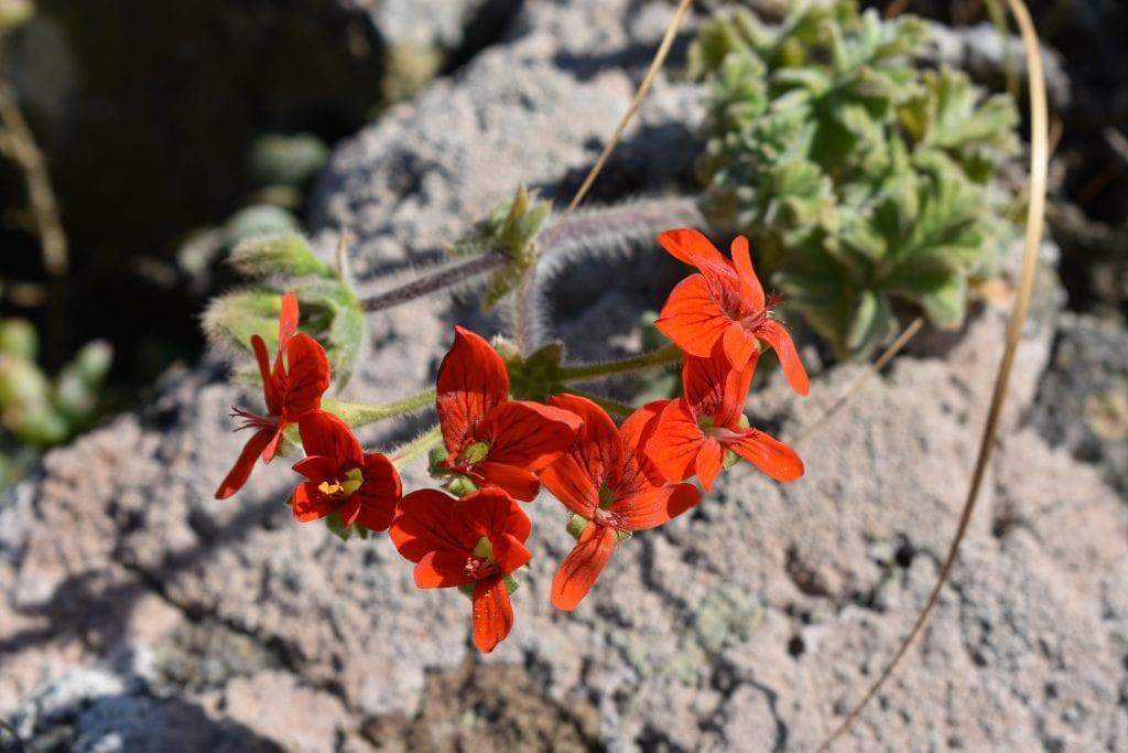 geranium-uitkyk-postberg-nature-reserve