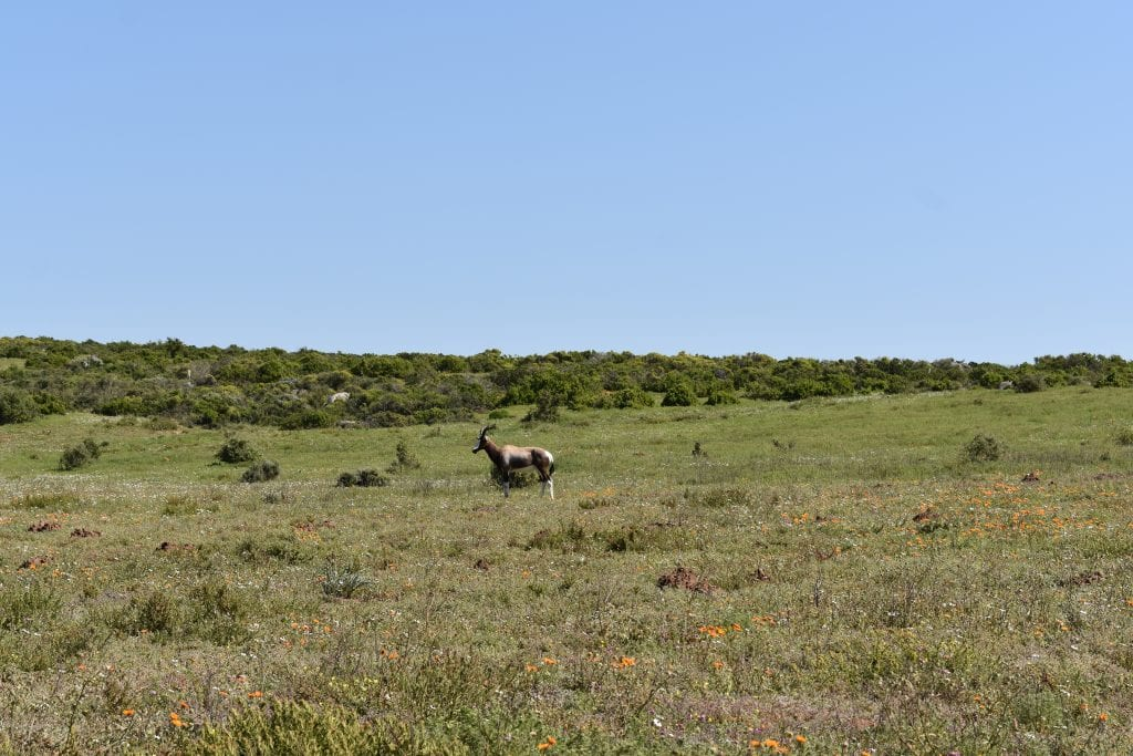 bontebok-west-coast-national-park