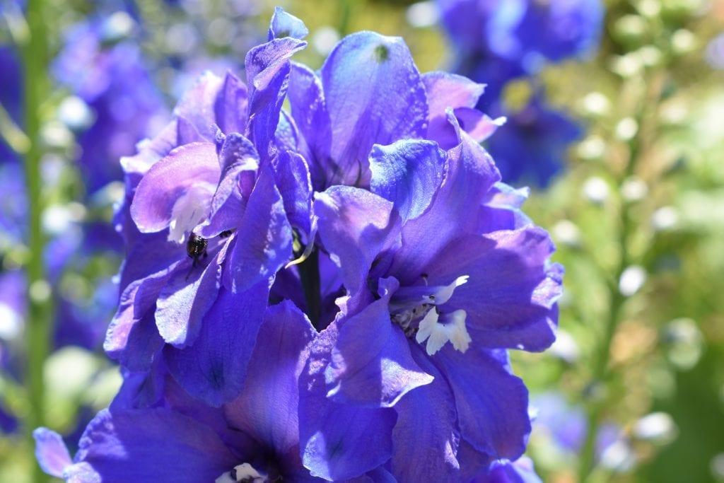 stellenberg-gardens-blue-flowers