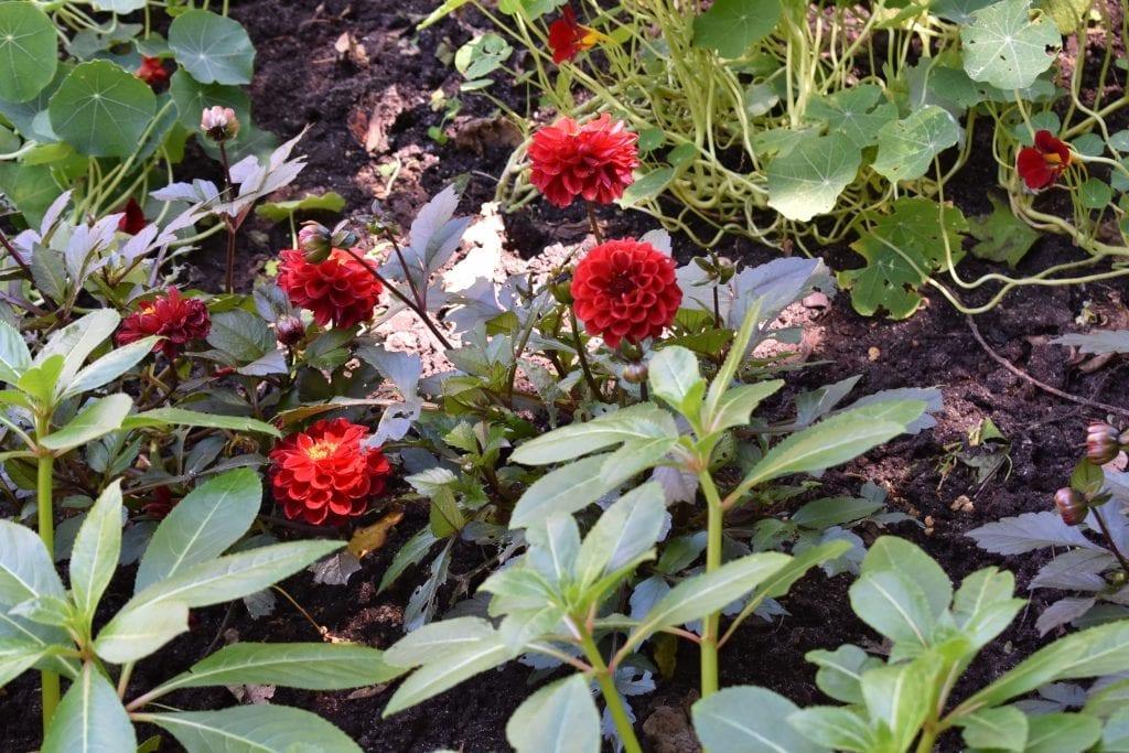 marigolds-stellenberg-gardens