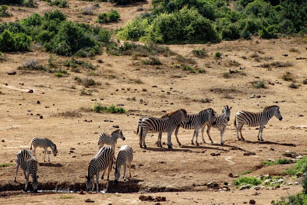 addo-zebra-alicia-chamaille