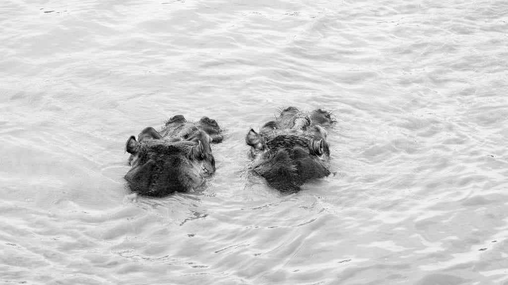 ante-hamersmit-hippos-south-africa