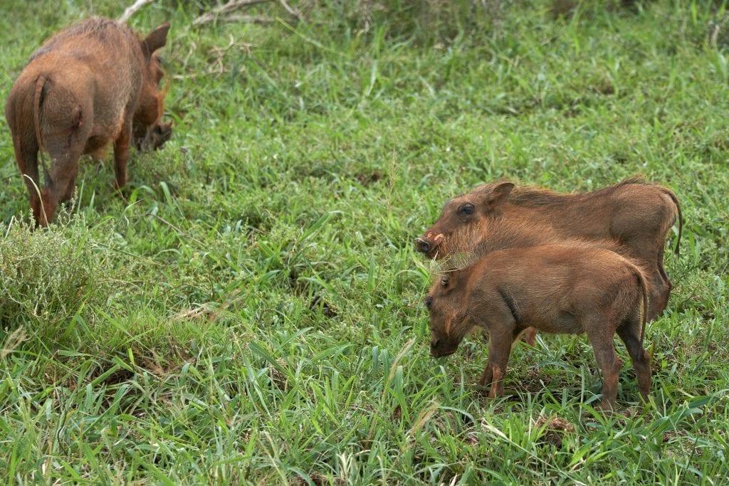 wolfgang-hasselmann-warthog