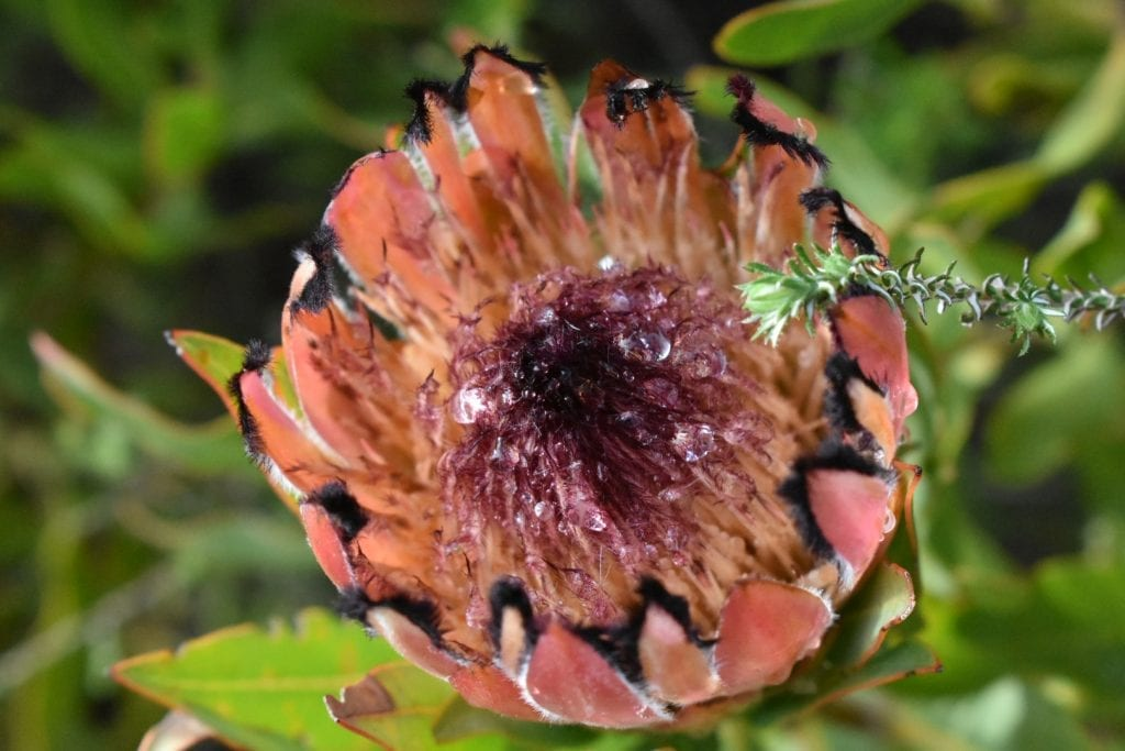 protea-paarl-mountain-nature-reserve