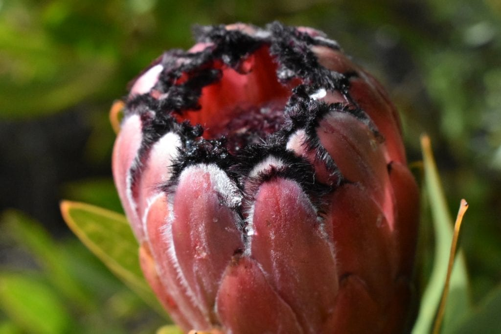 proteas-paarl-mountain-nature-reserve
