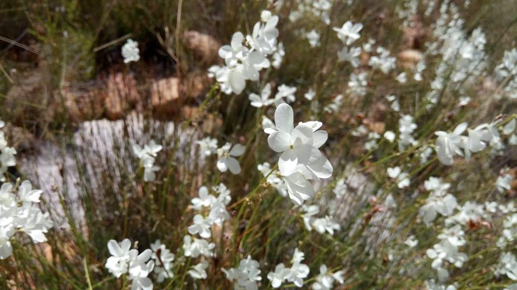 wild-flowers-cape-cederberg-region