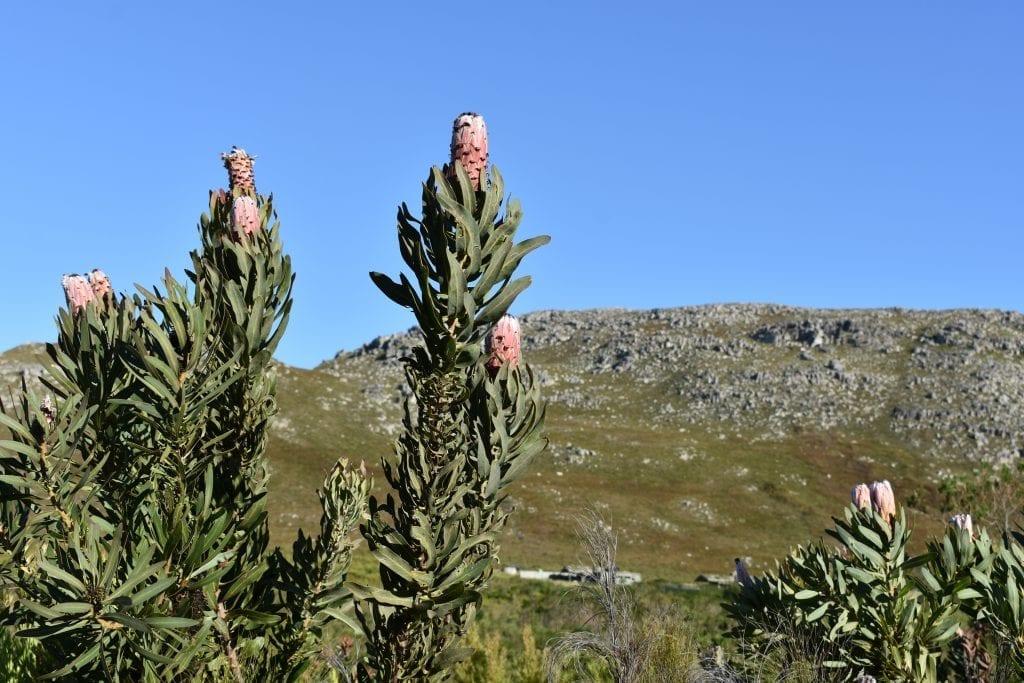 proteas-kogelberg-nature-reserve