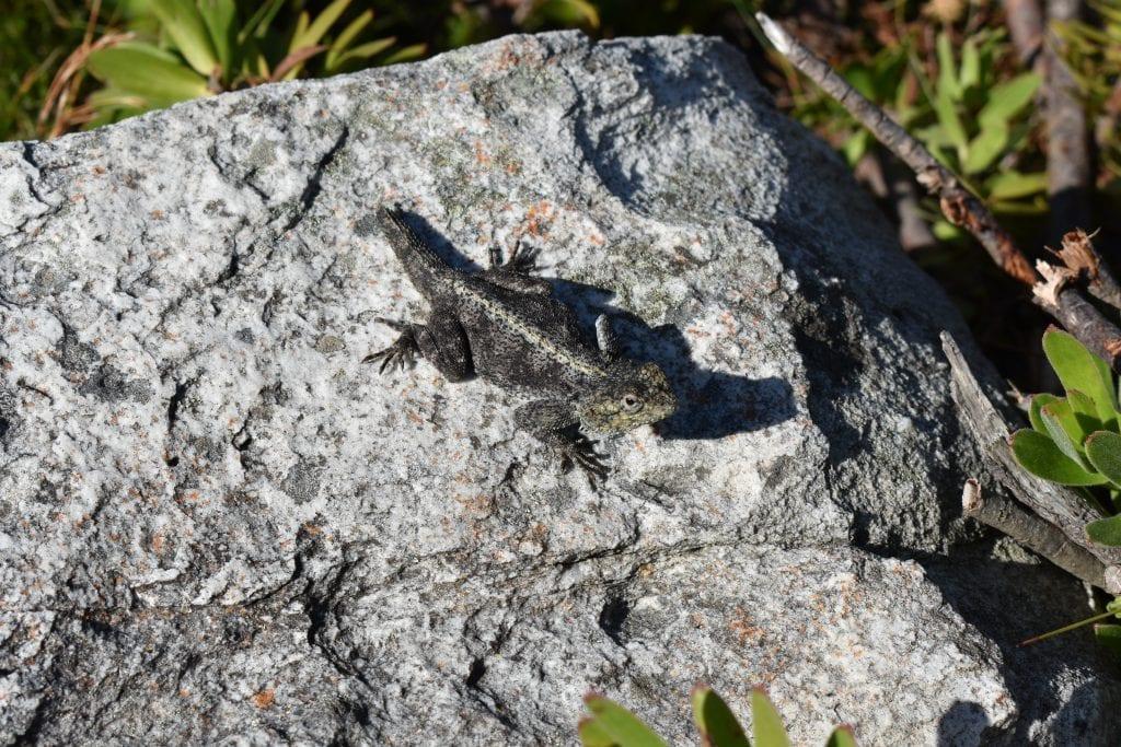 cape-lizard