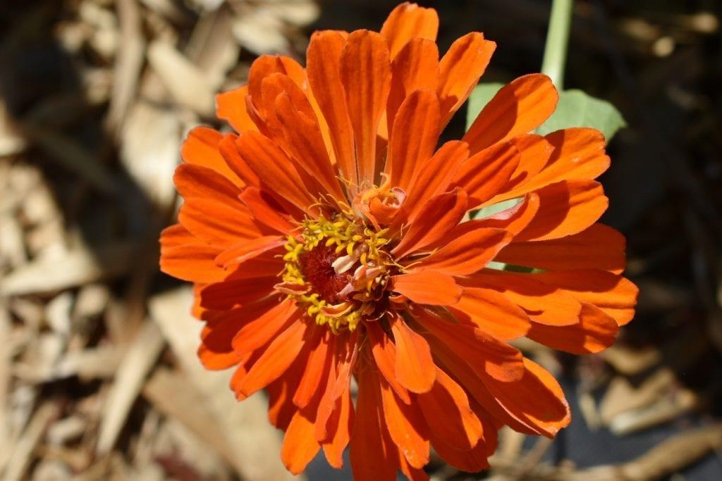 orange-zinnia