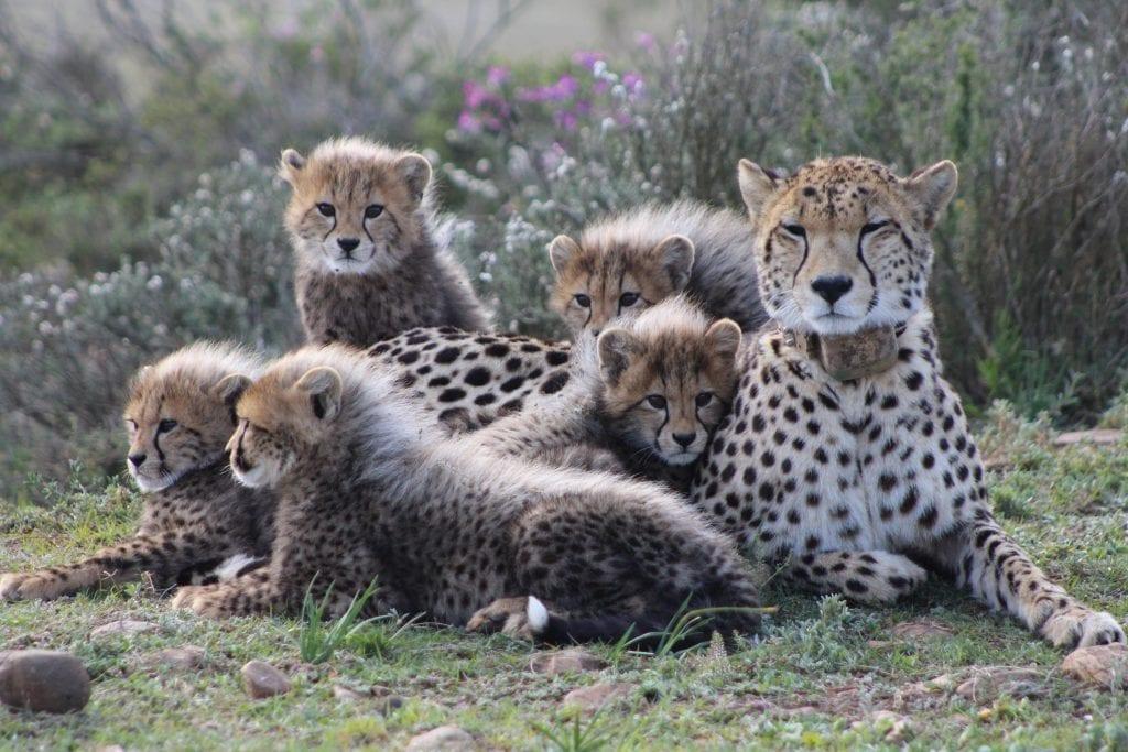 garden-route-game-lodge-cheetahs