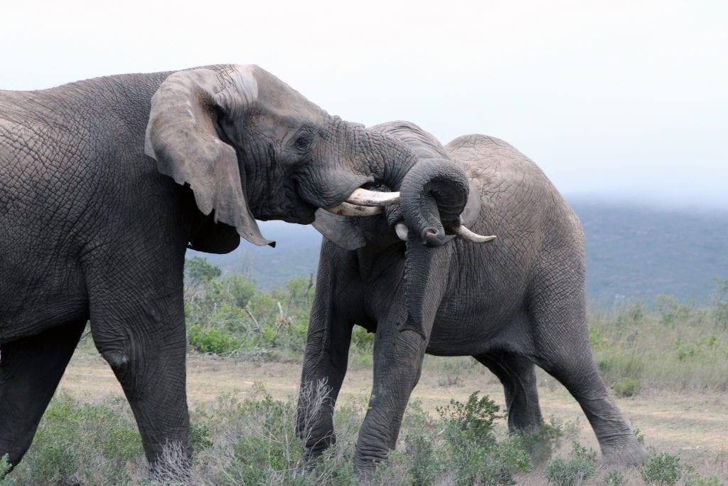 elephants-western-cape-south-africa