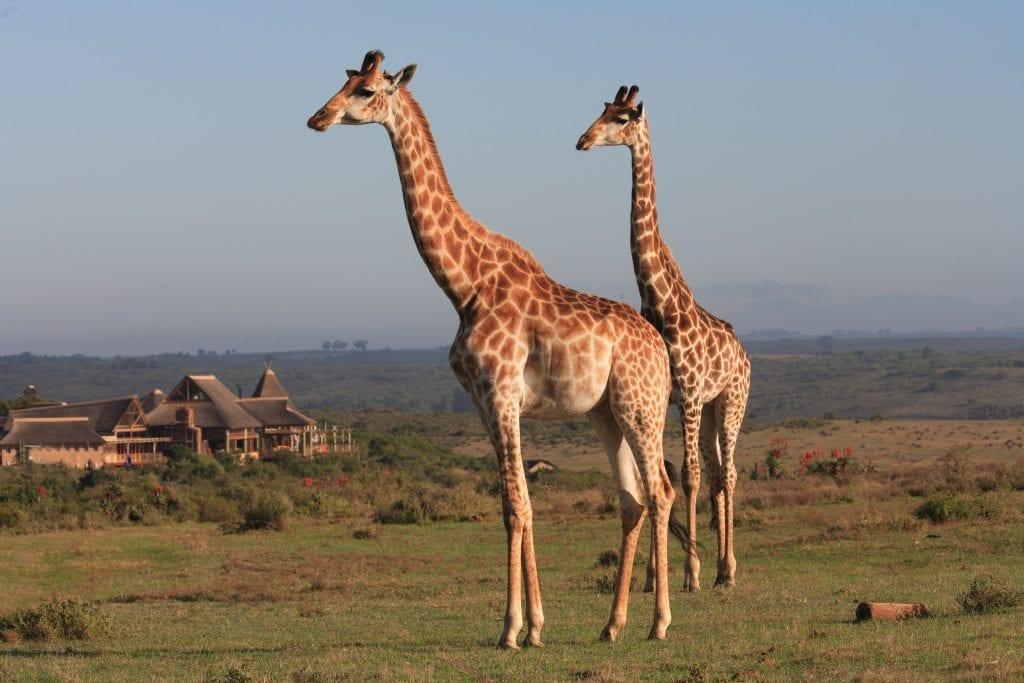 giraffe-game-drive