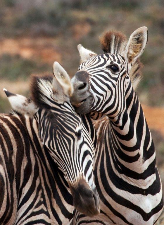 zebra-game-viewing