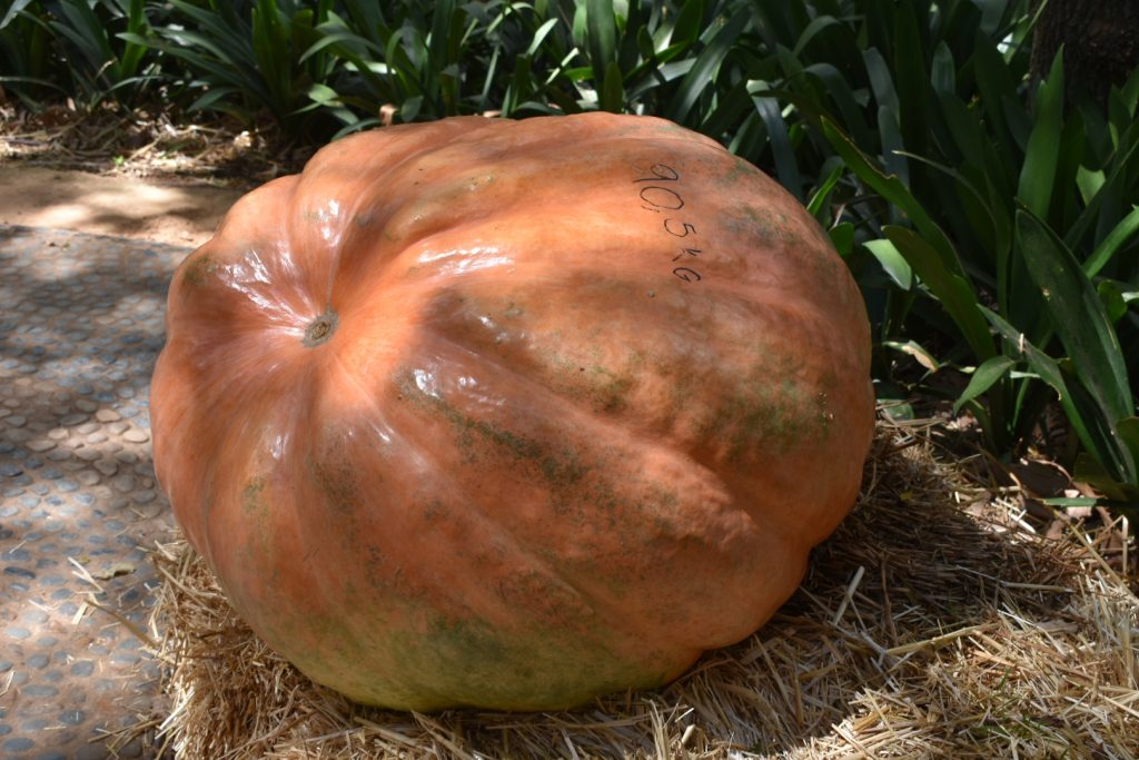 giant-pumpkin