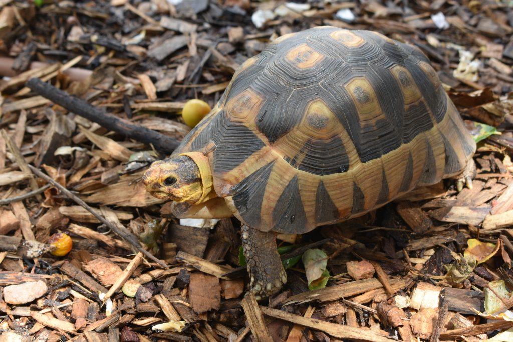 leopard-tortoise-western-cape