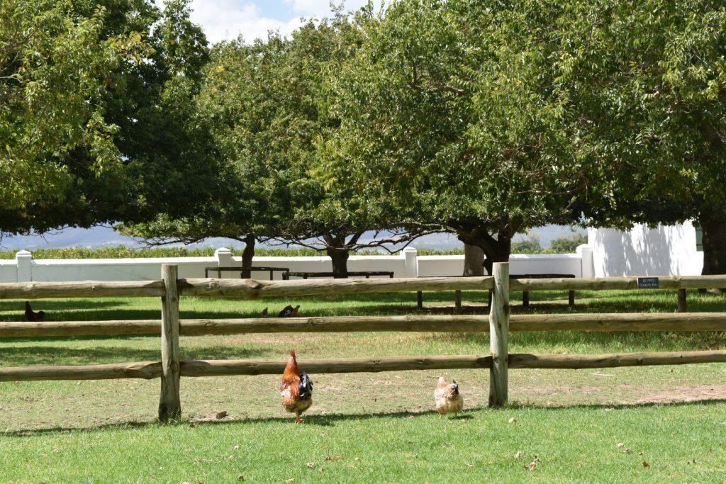 chickens-babylonstoren-farm
