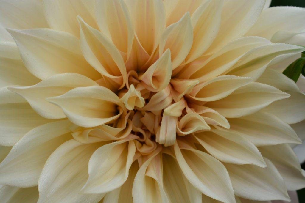 dahlia-pale-yellow-centre