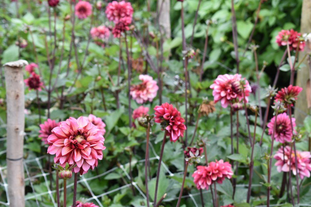 dahlias-dark-pink