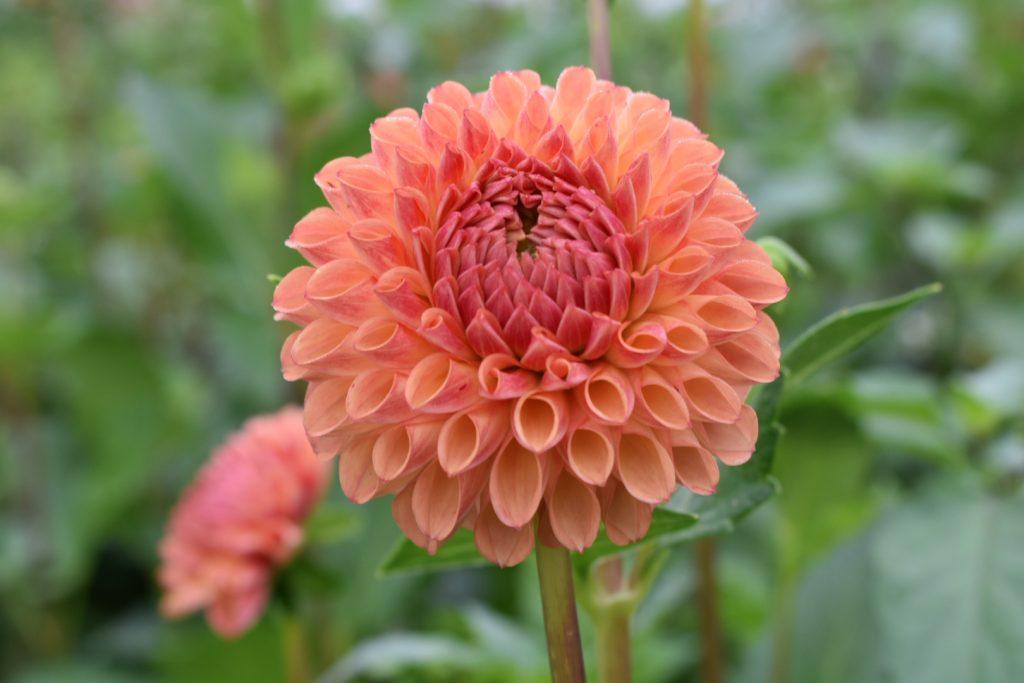 adenes-farm-flowers-dahlia-coral
