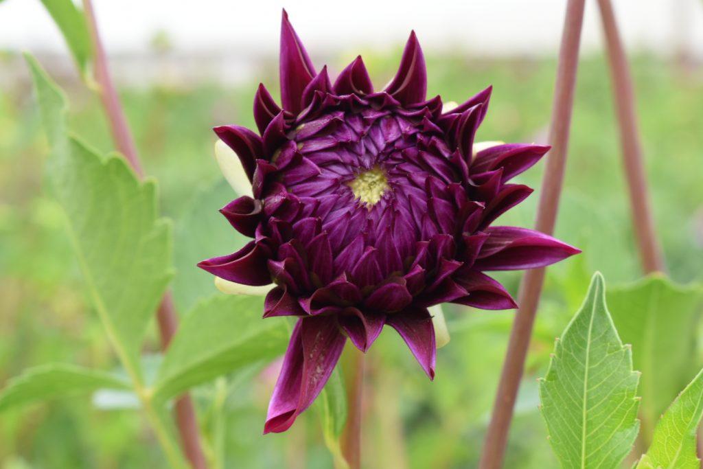 purple-dahlia-flower