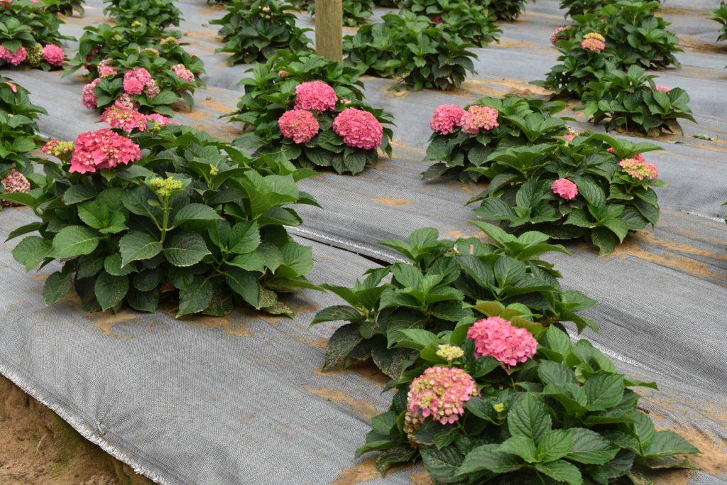 hydrangeas-flowering