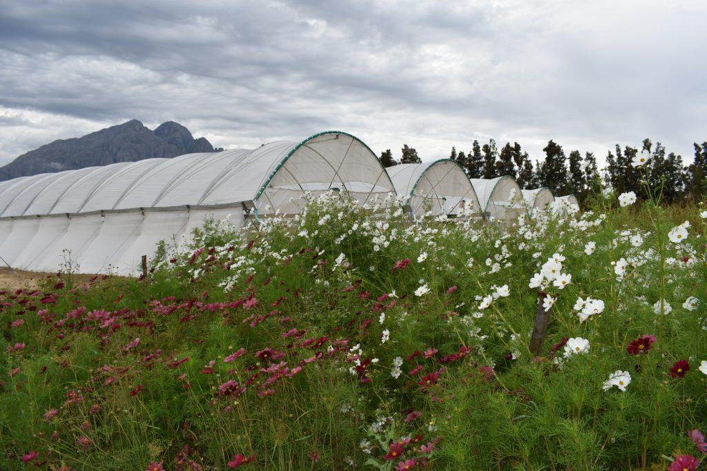 cosmos-flowers-field